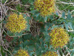 fleurs e rhodiola