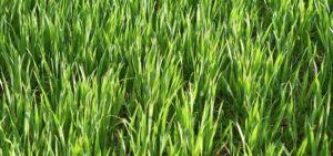 herbe de blé