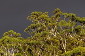 En automne, l'immunité pour l'hiverse renforc avec des plantes comme l'eucalyptus