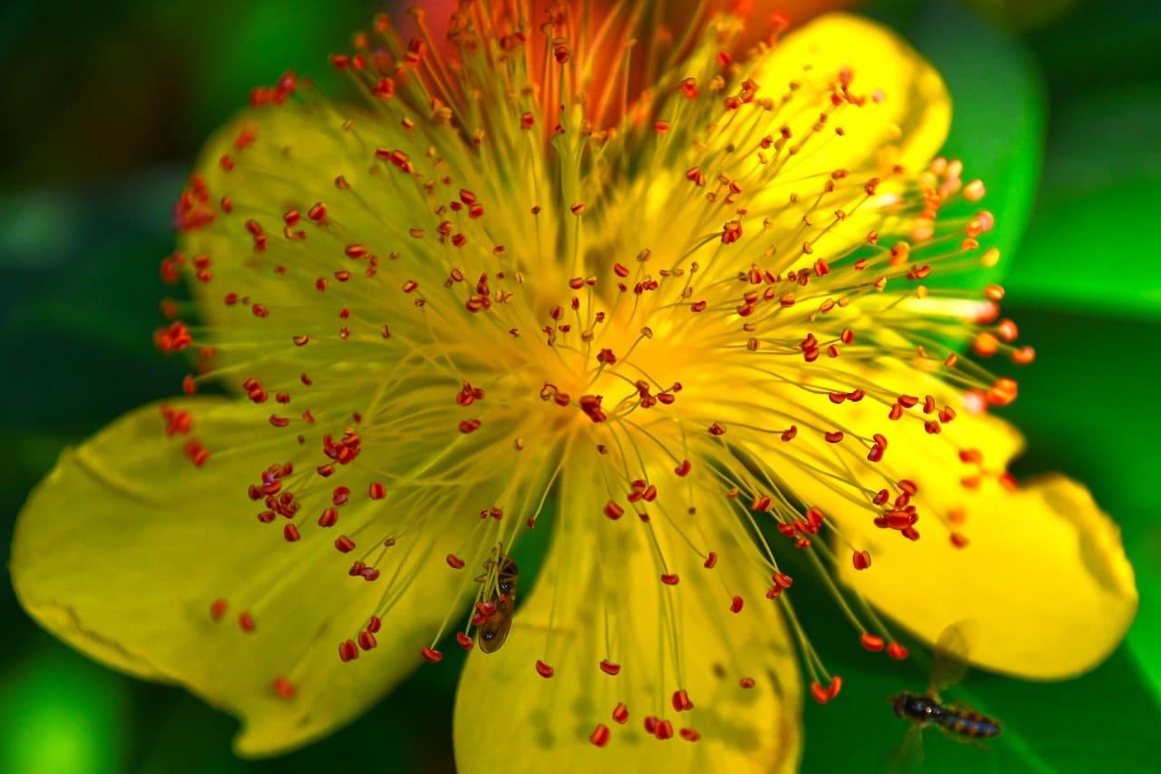 Millepertuis en fleur : bienfaits et contre-indications de la plante.
